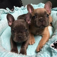 French Bulldogs for SALE, located in Utah!  Find us on Facebook at Fowers Frenchies!