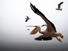 In Walvis Bay, Namibia, a pelican would never fail in catching a fish … when thrown from a boat
