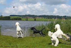 Poodles playing at the lake