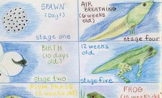 Janet Langley for  4th grade ~ Human & Animal ~ Frog ~ main lesson book