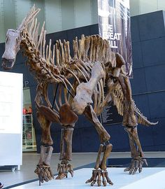 This picture shows a mounted skeleton of Amargasaurus, a Sauropod dinosaur from the early Cretaceous Period (around 130 million years ago). Amargasaurus was small for a Sauropod and featured two rows of spines down its neck and back. Photo taken in Victoria Museum, Melbourne, Australia.