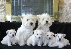 Happy westie family, perfection :)