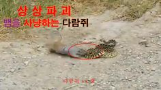 뱀을 사냥하는 다람쥐 다람쥐 vs 뱀 Squirrel hunting snake Squirrel vs Snake Figh