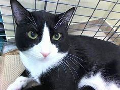 Please save Rocky..He will die in 2 hours At ACC shelter in New York City URGENT visit pets on death row on Facebook. Please save this beautiful cat.