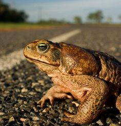 All across tropical Australia, the arrival of these gigantic alien toads has caused massive die-offs.