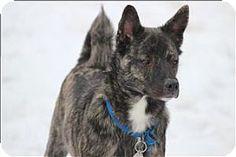 Quakertown, PA - Shiba Inu/Terrier (Unknown Type, Medium) Mix. Meet Titan, a dog for adoption. http://www.adoptapet.com/pet/12416769-quakertown-pennsylvania-shiba-inu-mix
