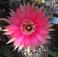 Cactus Blossom // Melanie Schmidt 2010