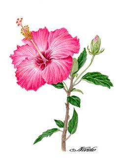 Botanical art, Watercolors. Hibiscus