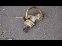 My tweets mizukusa kasumigaura≪つぶやき≫: The moment the snake swallows a sparrow シマヘビがすずめを飲...