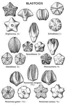 IL blastoid fossils