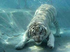White tiger! Go martinez tigers
