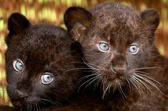 panther,babies,animals