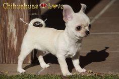 Chihuahuas Love - Cachorros Chihuahua y Frio. Fotos Cachorros Chihuahua al Aire Libre.