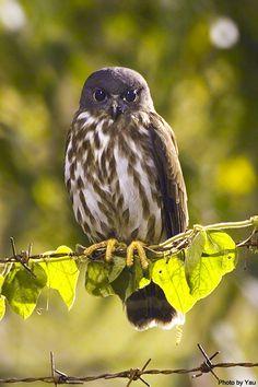 Brown Hawk Owl (Ninox scutulata). Photo by Yau.