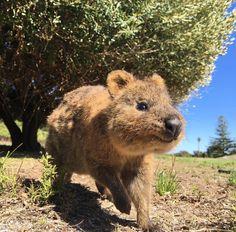 Quokkas on the golf course wanna know if we've got any lunch.  #quokka #cute #rottnestisland #perth #australia by davidoptimal http://ift.tt/1L5GqLp
