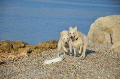 white swiss shepherds on the sea