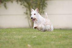 scottish terrier froment dans jardin