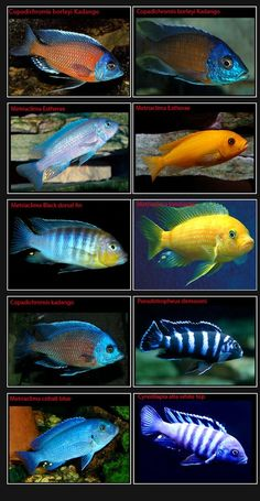 African Cichlids-Page-5-Pics-only #tropicalfishaquariumideas