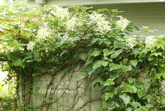 たくさん咲いたツルアジサイ