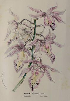 Antique print.1845.Botany.Louis Van by CastafioreOldPrints on Etsy
