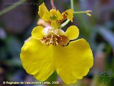 Coppensia vasconcelosiana