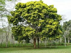 Árvore Pau-brasil/Brasil