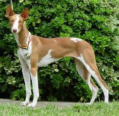ibizan hound photo | Ibizan Hound is a beautiful Hunting Dog | Dogs Data