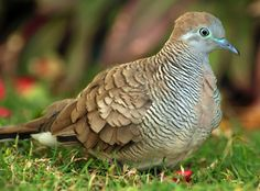 Here is a close-up shot of a Zebra Dove. You can hear them coo with the sunrise. Lived in Hawaii with my brother for several years.  When I talk to my him on the phone , that cooing in the background brings back such pleasant memories.  MB.