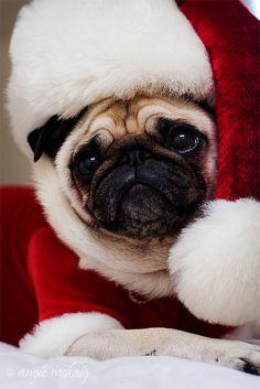 Christmas pug♥