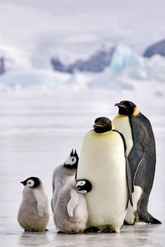 Penguins, mummy, daddy, and three little babies :)
