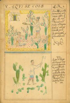 """""""La cochinilla se coloca en plantas nuevas: Marzo y Abril"""" en Pintura del beneficio de la grana cochinilla en México Acuarela, ca. 1775"""