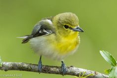 キノドモズモドキ Yellow-throated vireo (Vireo flavifrons)