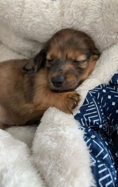 Dapple Dachshund, Dachshund Puppies, Chihuahua Dogs, Pet Dogs, Pets, Long Haired Miniature Dachshund, Miniature Dachshunds, Long Haired Dachshund, Shelter Dogs