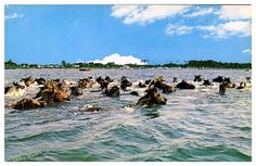 the annual swim of theponies from  Asseteague, MD to Chincoteague Island, VA