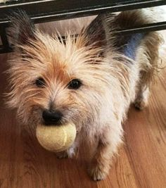 Will you play ball with me? You can adopt this adorable little Cairn.. Details at MatildasJourney.com