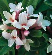 Daphne- spring flowering shrub. Want one of these for my garden. This is also a good page for a list of flowering shrubs.