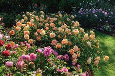 http://www.crocus.co.uk/plants/_/rosa-lady-of-shalott--ausnyson-pbr/classid.2000018198/