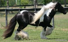 Gypsy Warlock | Gypsy Vanner Stallion | Piebald