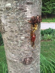Bacterial Canker Control: Tips On Treating Bacterial Canker On Cherries - Bacterial canker of cherry trees is a killer. When young sweet cherry trees die, the cause is more likely to be bacterial canker of cherry than any other disease in wet, cool areas. If you want more information about the latest methods of treating bacterial canker, click this article.