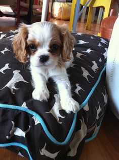 oh, the cutest cavalier pup