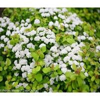 ... Glow Girl Spirea. Compare Products. You have no items to compare.
