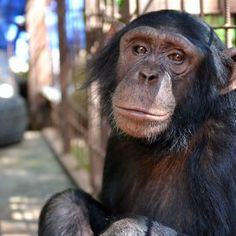 """I AM NOT A PET : From """"Pet"""" to Protected! : This is Chembo. Chembo knows what it is to feel trapped. The chimpanzee lived alone for six years in a cramped cage as a """"pet"""" in the eastern Democratic Republic of Congo. Unable to climb or walk, incapable of socializing or playing, Chembo's legs atrophied over the years, wasting away her natural strength. But thanks to the tireless efforts of seven different organizations working together, Chembo can now grow strong again at the Lwiro Primate…"""