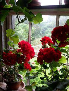 52 Unordinary Window Design Ideas With Plants That Make Your Home Cozy Geraniums Garden, Red Geraniums, Petunia Flower, Geranium Flower, Big Flowers, Colorful Flowers, Beautiful Flowers, Portulaca Flowers, Hardy Geranium