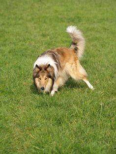 Kanel, chien Colley à poil long