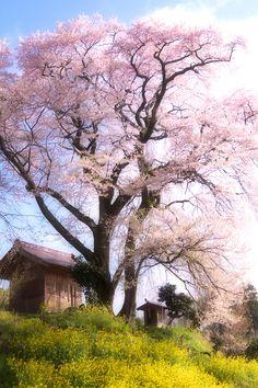天神夫婦桜 / Cherry tree of the couple   2012.04.28 Koriyama,Fukushima