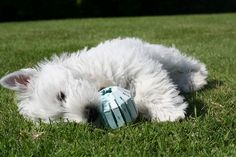 Cute West Highland White Terrier Puppy Playing on a Grass