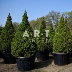 Picea glauca Conica 150-175, C180