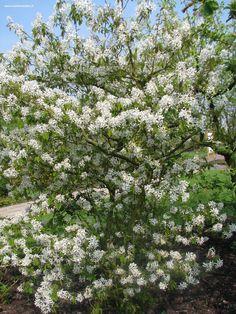 Amelanchier lamarckii = krentenboompje. Hoog opgaande struik of kleine boom, de bladeren zijn bij het uitlopen bronskleurig en dit is tegelijk met de bloei: witte bloemen, een fraai gezicht. April/mei. Ook de herfstkleur is bijzonder fraai: oranje – scharlaken. De vruchten zijn klein, eetbaar.