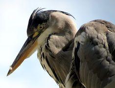 Heron, Bird, Animal, Nature
