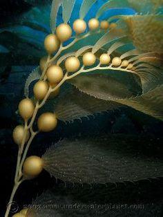 kelp...sea flowers